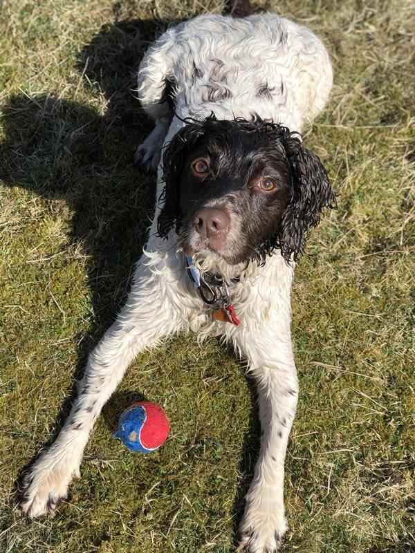 Springer Rescue for Scotland - rehoming springer spaniels