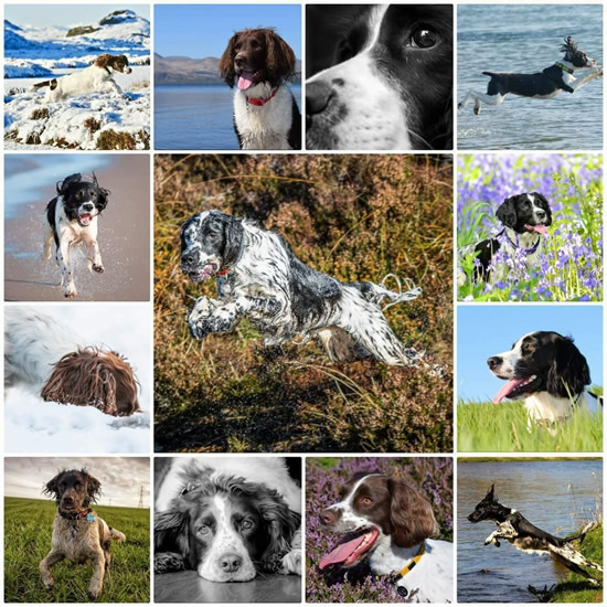 SRS - SPRINGER RESCUE FOR SCOTLAND
